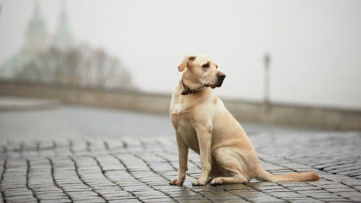 International Dog Transport 2